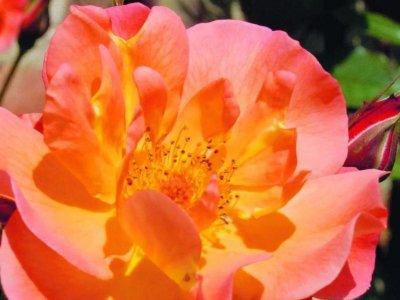 Moderne historiske roser