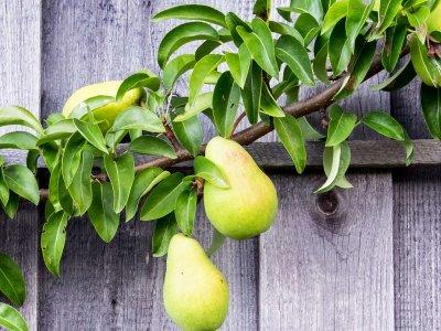 Dyrk frugt på muren