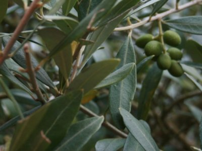 Overvintring af oliventræer